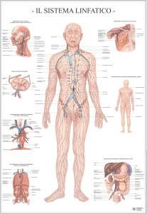 il-sistema-linfatico