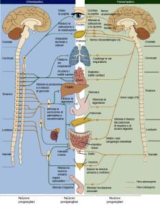 Sistema nervoso parasimpatico